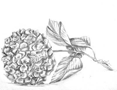 Botanical Drawing - Hydrangea by PJ Timmermans