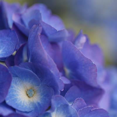 Photograph - Hydrangea Point Of View by Angie Vogel