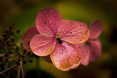 Photograph - Hydrangea by Ron Roberts