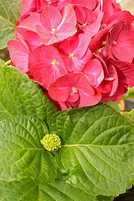 Photograph - Hydrangea by Ruth Edward Anderson