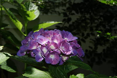 Photograph - Hydrangea Season by Margie Avellino