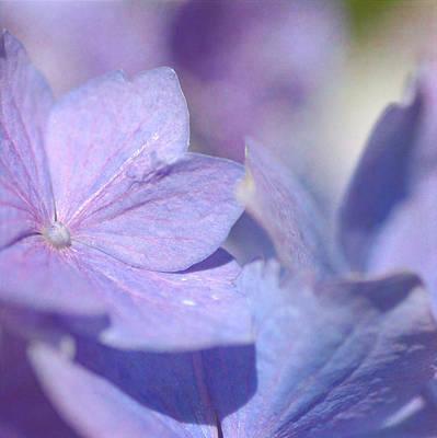 Photograph - Hydrangea Squared by Fraida Gutovich