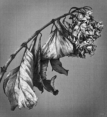 Dried Hydrangeas Photograph - Hydrangea by Theresa Tahara