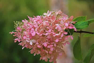 Photograph - Hydrangea Valentine by Michael Saunders