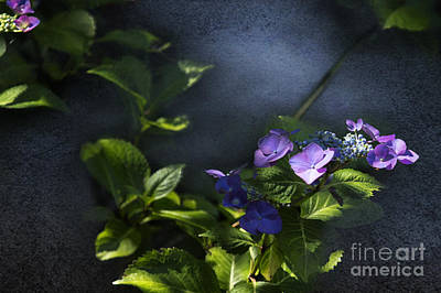 Photograph - Hydrangea Violet-blue by Belinda Greb