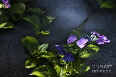 Hydrangea Violet-blue Art Print