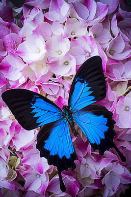 Hydrangea With Blue Butterfly Print by Garry Gay