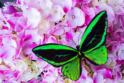 Hydrangea With Green Butterfly Art Print by Garry Gay