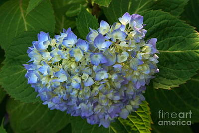 Photograph - Hydrangeas And Hearts by Byron Varvarigos