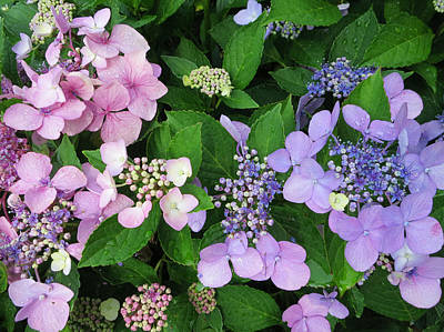 Photograph - Hydrangeas - Blue And Pink by Patricia Januszkiewicz