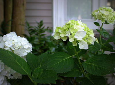Hydrangeas IIi Art Print by Beth Vincent