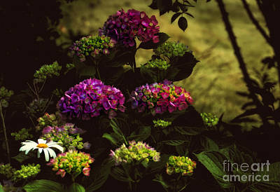 Hydrangeas In The Shade  Art Print by Elaine Manley