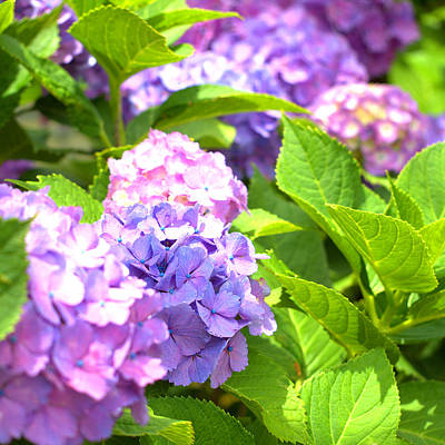 Hydrangeas In The Sun Art Print by Rachel Mirror