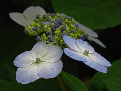 Purple Hydrangeas Photograph - Hydrangeas by Juergen Roth