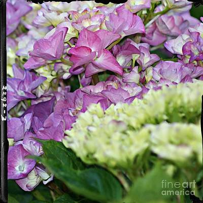 Print featuring the photograph Hydrangeas by Leslie Hunziker