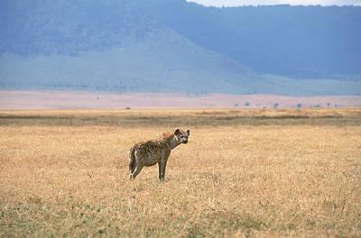 Hyena Photograph - Hyena, Tanzania by Beth Wald