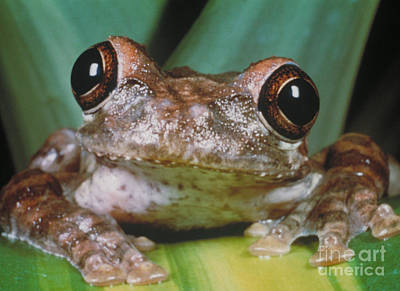 Photograph - Hyla Vasta Tree Frog by Jeff Lepore