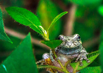 Print featuring the photograph Hyla Versicolor by Rob Sellers