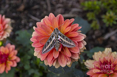 Photograph - Hyles Lineata White Lined Sphinx Moth by Louise Magno