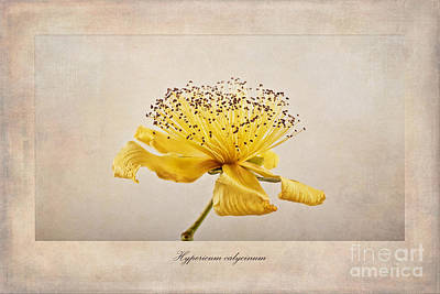Hypericum Calycinum Art Print by John Edwards