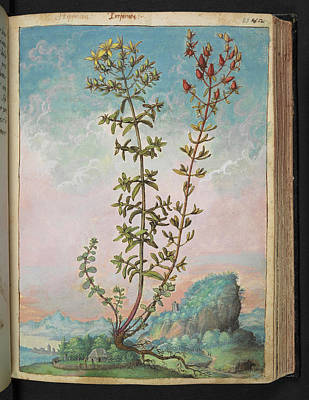 Antidepressant Photograph - Hypericum Perforatum by British Library
