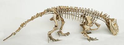 Triassic Photograph - Hyperodapedon Skeleton by Dorling Kindersley/uig