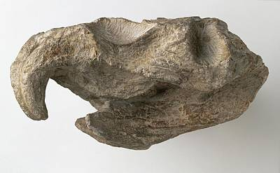 Triassic Photograph - Hyperodapedon Skull by Dorling Kindersley/uig