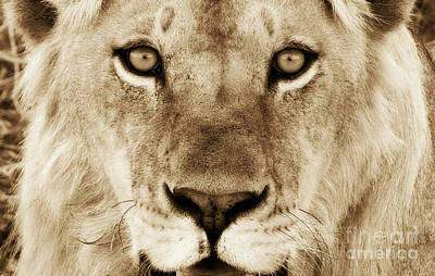 Photograph - Hypno Lion by Chris Scroggins