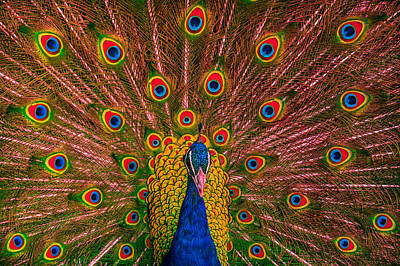 Photograph - Hypnotic Peacock by Ernie Echols