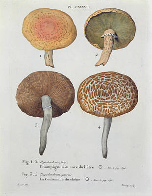 Mushroom Drawing - Hypodendrums Fagi And Queris by Fossier
