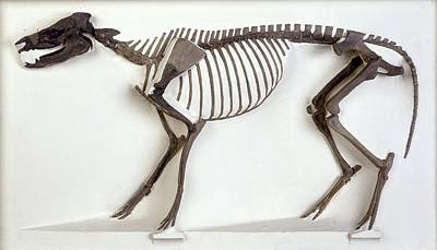 Fossil Reconstruction Photograph - Hyracotherium Horse, Fossil Skeleton by Science Photo Library