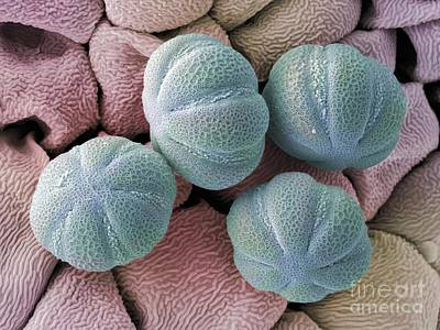 Photograph - Hyssop Pollen Grains, Sem by Cheryl Power