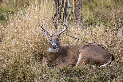 Nikki Vig Royalty-Free and Rights-Managed Images - I Can See You whitetail Deer Laying in Weeds by Nikki Vig