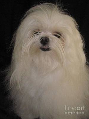 Maltese Puppy Photograph - I Dont Like Topknots by Margaret Newcomb