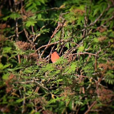 Finch Wall Art - Photograph - I Don't Often See Bullfinches In Our by Miss Wilkinson