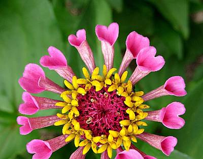 Photograph - I Heart Zinnia by MTBobbins Photography