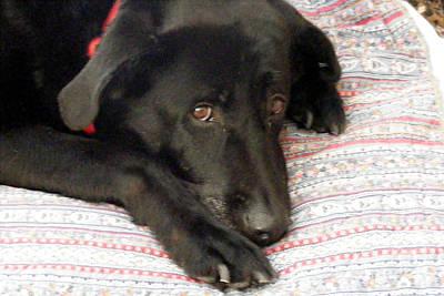 I Love My Blanket - Black Lab - Dog Art Print by Barbara Griffin