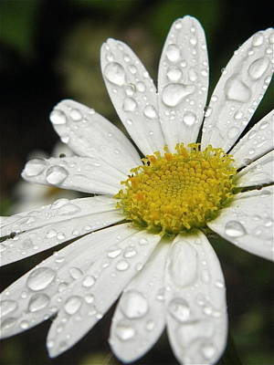 Photograph - I Love Rainy Daisies by Marijo Fasano