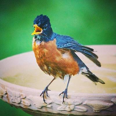 Animals Photograph - Bathing Robin by Heidi Hermes