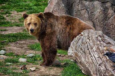 Photograph - I See A Grizzly Bear by Christy Patino