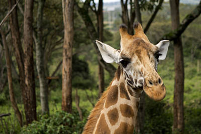Photograph - Giraffe 1 by Amy Warr