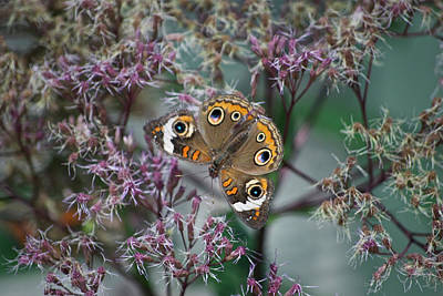 Central Il Photograph - I See You Butterfly by Thomas Woolworth