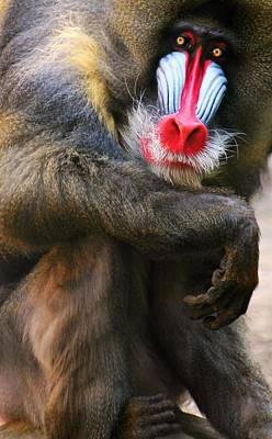 Mandrill Photograph - I See You by Diana Angstadt
