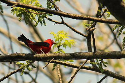 Wheaton Photograph - I Spy A Scarlet Tanager by Rosanne Jordan