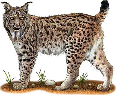 Photograph - Iberian Lynx by Roger Hall