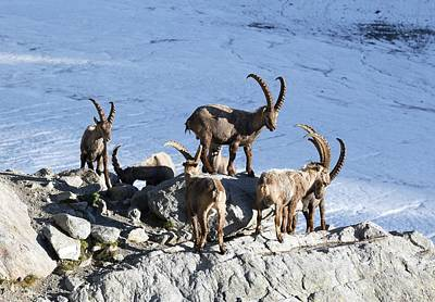 Grindelwald Photograph - Ibex By A Glacier by Science Photo Library