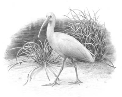 Ibis Drawing - Ibis by Diane Cardaci
