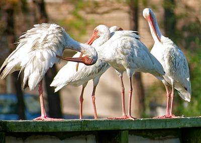 Photograph - Ibis Flock by Jeanne Kay Juhos