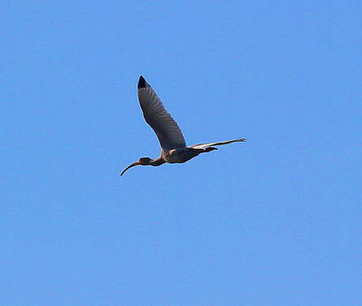 Marsh Photograph - Ibis Flying by Cathy Lindsey