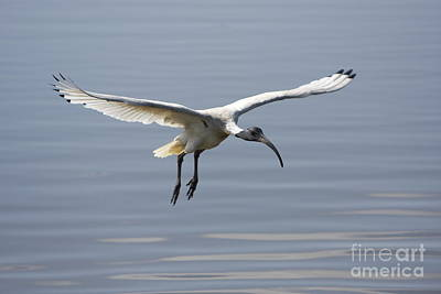Ibis In Flight Art Print